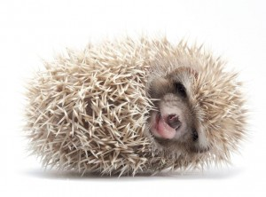 Hedgehog (1)