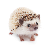 Hedgehog (2)
